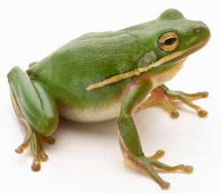 Frogs - Facts about frogs